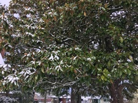 Broadleaved evergreens like this southern magnolia may see branches crack under the weight of heavy snow. Promptly shaking or sweeping off heavy snowloads may help prevent such tearouts.