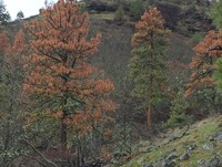 Ponderosa pines show dieback caused by Ips beetles, which attack a wide variety of pines injured by fire or storms or weakened by drought. Another native insect - Douglas-fir beetle - attacks Douglas-firs whose defenses have similarly been weakened by fir