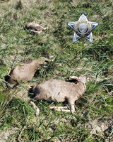 OSP Fish & Wildlife Division is asking for the public's help to identify the person(s) responsible for the unlawful killing of three young Blacktail Deer bucks - Coos County (Photo)