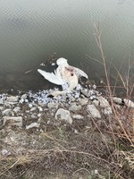 Oregon State Police is Asking for Public's Assistance with Unlawful Killing of Tundra Swans - Harney County