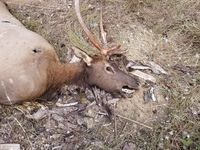 Poached Spike Elk Lincoln County